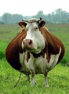 Gruba krowa